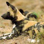 Help spot Kruger's wild dogs