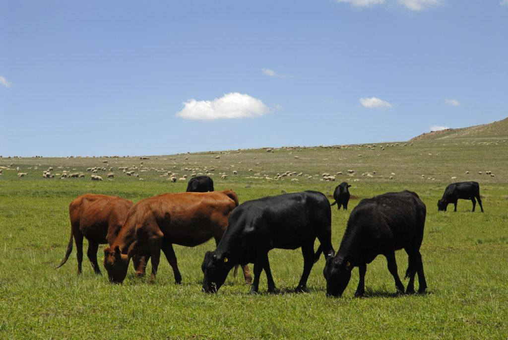 KwaZulu-Natal province: Cattle farm