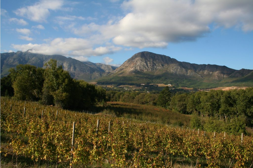 Western Cape province: A vineyard near Franschhoek