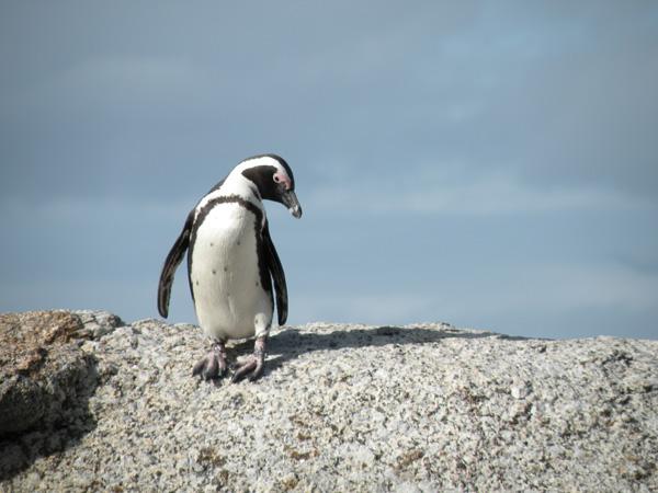 africanpenguin-NickPerretti