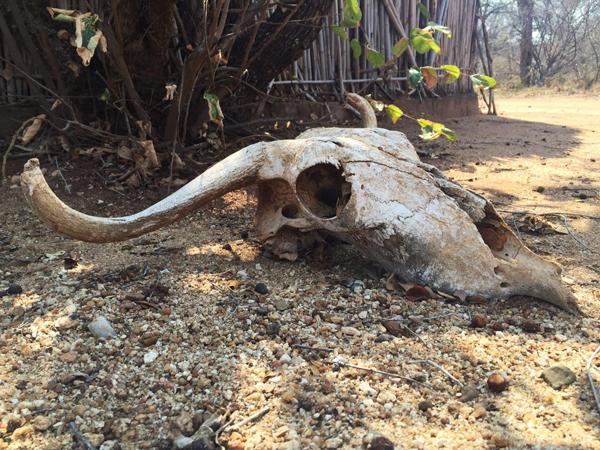 whitelions-skull