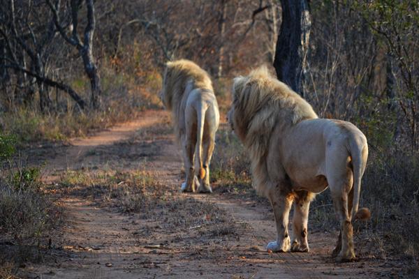 whitelions-walking