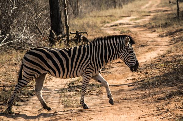 whitelions-zebra