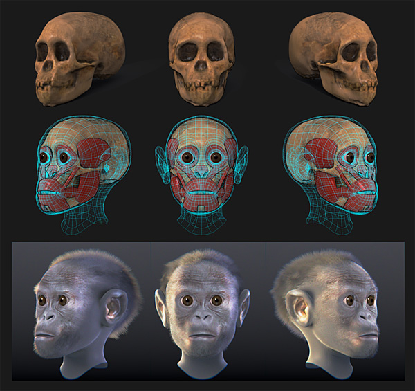 3D reconstruction of the Taung-Child the first specimen of Australopithecus africanus ever found